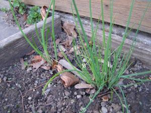 Chives in My Herb Garden!